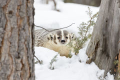 Badger In The Snow Royalty Free Stock Image