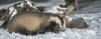Badger in snow stock photos