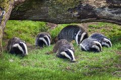 Badger sow and cubs royalty free stock photo
