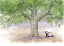 Badger in summer forest Stock Images