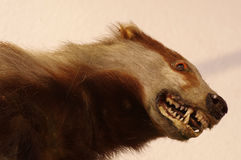 Badger taxidermy. Portrait animals theme Royalty Free Stock Photography