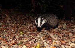 Badger. Royalty Free Stock Image