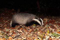 Badger. Royalty Free Stock Photography