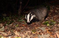 Badger. Stock Photo