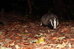 Badger. Royalty Free Stock Photo