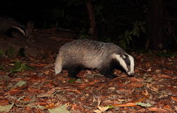 Badger. Stock Images