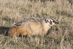 Badger walking in the prairie grass Royalty Free Stock Photography