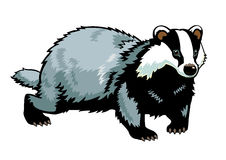 Badger on white Stock Photos