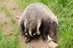 Badger in the wild Stock Photography