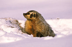 Badger at Winter Den Stock Images