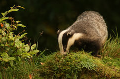 Badger (Meles meles). Royalty Free Stock Photo