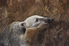 Badger at the zoo stock photography