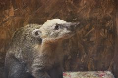 Badger at the zoo stock images