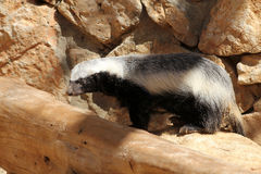 badgern miodowy pers obraz stock