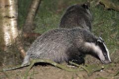 Badgers. Playing Badger in The Netherlands Royalty Free Stock Photography