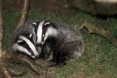 Badgers Royalty Free Stock Images