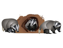 Badgers Stock Photos