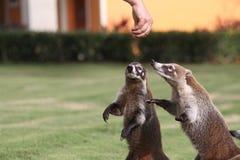 Badgers in a mexican garden Stock Photos