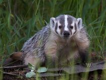 Cute Baby Badger. Badgers are short-legged omnivores in the family Mustelidae, which also includes the otters, polecats, weasels, and wolverines. They belong to royalty free stock photos