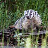Cute Baby Badger. Badgers are short-legged omnivores in the family Mustelidae, which also includes the otters, polecats, weasels, and wolverines. They belong to royalty free stock photography