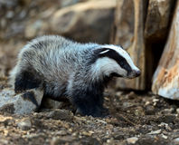 Badgers. In their natural habitat Royalty Free Stock Photos