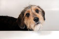 badhunden badar royaltyfri bild