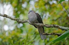 Badia impérial de Ducula de pigeon de montagne photos libres de droits