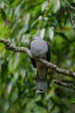 Badia impérial de Ducula de pigeon de montagne image stock