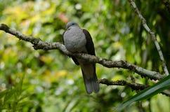 Badia impérial de Ducula de pigeon de montagne photo libre de droits