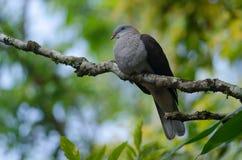 Badia impérial de Ducula de pigeon de montagne photographie stock libre de droits