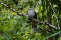 Badia impérial de Ducula de pigeon de montagne photographie stock