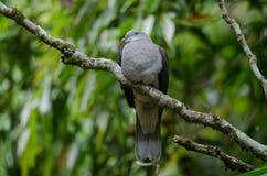 Badia impérial de Ducula de pigeon de montagne images stock