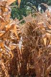badine le labyrinthe de maïs Image libre de droits