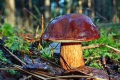 Badius di xerocomus del fungo Immagini Stock Libere da Diritti
