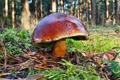 Badius di xerocomus del fungo Fotografia Stock Libera da Diritti