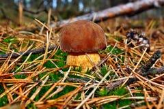Badius di xerocomus del fungo Fotografie Stock Libere da Diritti