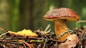 Badius för fjärdboletesopp, Xerocomus badius i skog arkivfilmer