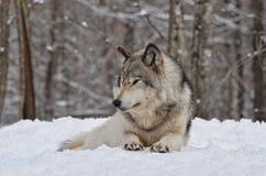 badlands λύκος ξυλείας της Ντακότας βόρεια φωτογραφισμένος Στοκ Φωτογραφία