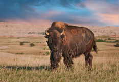 Free Badlands American Bison Bull Royalty Free Stock Photo - 27190565