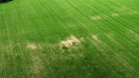 Green young wheat or grain varieties windy field from aerial drone view. Badlands or arid land infected with weeds. Soybean or bean cultures field ripening at stock video