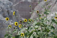 Badlands Background With Sunflowers in Foreground. Rugged background with flowers that are in the forground and lit by th sun Stock Images
