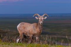 Badlands bighorn cakli samiec fotografia royalty free