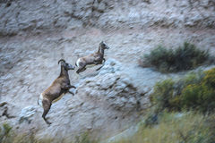 Badlands Bighorn Mother and Young in motion royalty free stock photo
