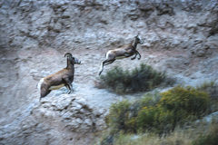 Badlands Bighorn Mother and Young in motion Royalty Free Stock Photography