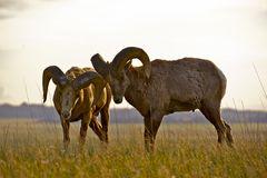 Badlands Bighorn Sheep Stock Photo