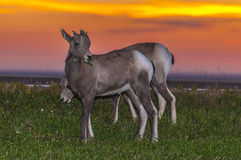 Badlands Bighorn Sheep Royalty Free Stock Photos