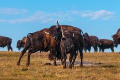 Badlands Bison Looking naar de camera royalty-vrije stock foto