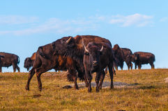 Badlands Bison Looking towards the camera Royalty Free Stock Photo