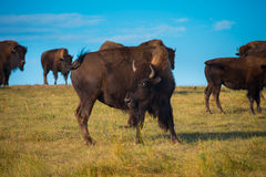 Badlands Bison Looking towards the camera Stock Photography