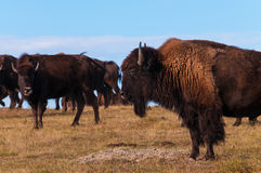 Badlands Bison Profile Royalty Free Stock Photos